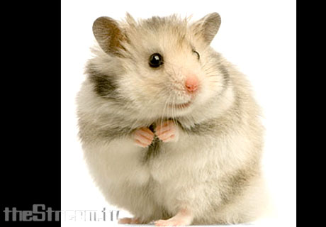 Hamster Voices